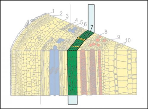 """Комплект модульных динамических транспарантов """"Корень, стебель, лист. Внутреннее строение"""""""