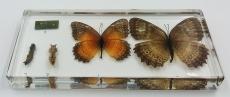 "Коллекция ""Развитие бабочки"" (акрил)"