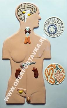 """Барельефная модель по анатомии """"Железы внутренней секреции"""""""