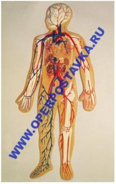 """Барельефная модель по анатомии """"Кровеносная система человека"""""""