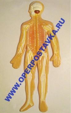 """Барельефная модель по анатомии """"Нервная система человека"""""""