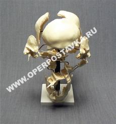 """Модель """"Кости черепа"""""""