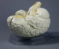 """Модель """"Мозг в разрезе"""""""